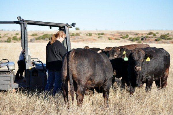 Braunvieh bulls in the pasture.