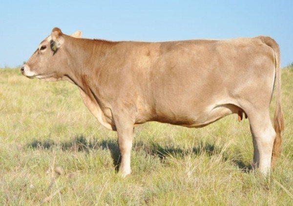 Purebred Braunvieh Cow