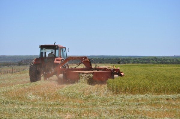 Laying down wheat in Spring of 2012.